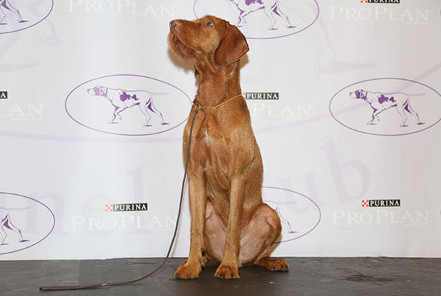 Wirehaired Vizsla - Photo: Getty Images